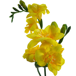 Freesias amarillas