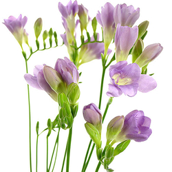 Freesia azul