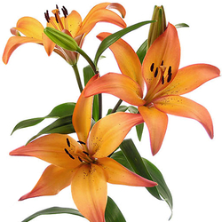 Lilium royal sunset