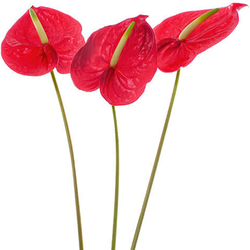 Anthurium mixtos